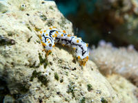 Juvenile Graeffe's Sea Cucumber