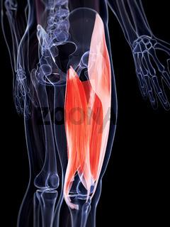 3d rendered illustration of the upper leg musculature
