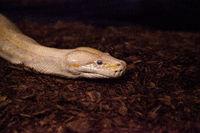 Albino Burmese python snake Python bivittatus