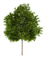 maidenhair tree isolated on white background