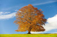 single big old beech tree on the meadow in autumn
