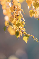 beautiful autumn yellow birch leaves