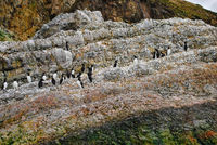 Common Guillemot or Murre, Uria aalge, North Sea, Europe