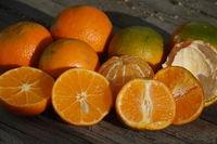 Citrus x aurantium Hernandina. Clementine, Citrus x clementina
