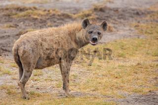 Hyena is watching you, on safari in Kenya