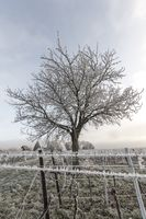 Grape vines and old walnut tree in frost