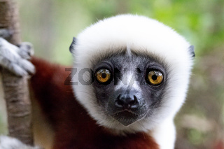 The portrait of a Sifaka lemur in the rainforest