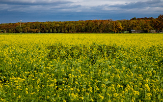 dark mustard plants in a field, yellow flowers and green leaves