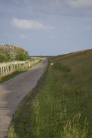 sheeps near keitum at sylt island, germany