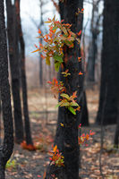 Red and green leaves emerge from a burnt tree