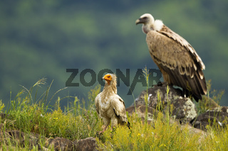 Egyptian vulture and griffon vulture sitting in Rhodopes mountains