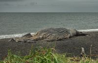 Dead whale on beach
