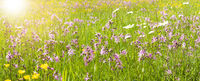panoramic meadow with spring flowers and sunbeams