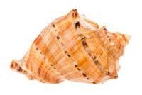 conch of rapana isolated on white