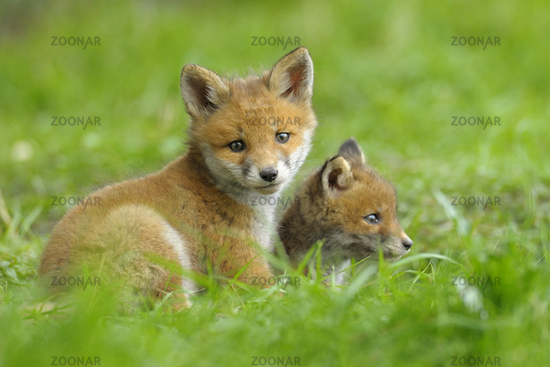 Young Red Foxes, Germany