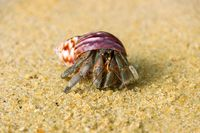 Hermit crab, Diogenes sp. Hermit or diogenes crab in a beautiful gastropod shell