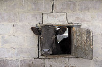cow looking out from window of shed on red brick wall. Livestock concept. Livestock farm
