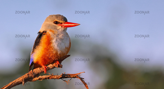 grey-headed kingfisher, South Luangwa NP, Zambia, (Halcyon leucocephala)