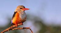 grey-headed kingfisher, South Luangwa NP, Zambia, (Halcyon leucocephala)