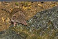 European white-toothed shrew 'Crocidura russula'