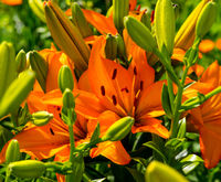Open orange lily flowers and closed lily flowers in green