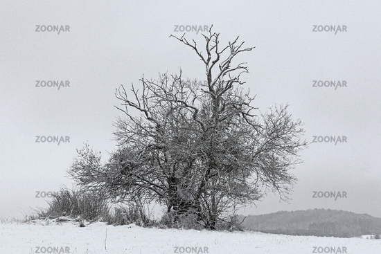 Old apple tree in the snow
