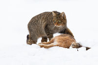 European wildcat hunting on meadow in winter nature