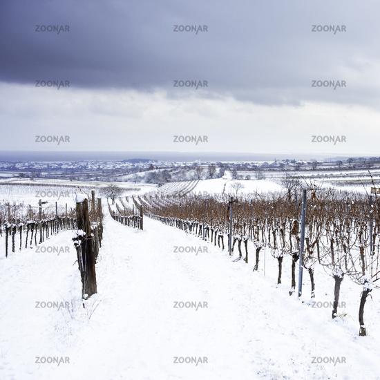 vineyard and tree in winter in burgenland