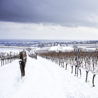 vineyard and tree in winter in burgenland