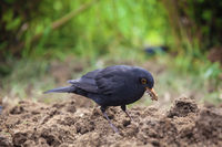 Black Bird in Home Garden 2