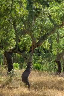 Beautiful curved cork trees in a golden field of grass