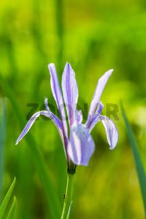 Iris lactea flower closeup