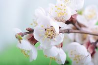 Apple tree blossom flower on branch at spring. Beautiful blooming flower close up on green nature background.