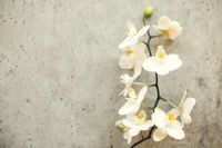 Elegant orchid twig with flowers