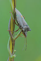 Forest bug (Pentatoma rufipes)
