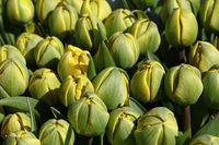 Green yellow fresh tulip flowers background