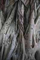 Branches and roots of a far east growing tree