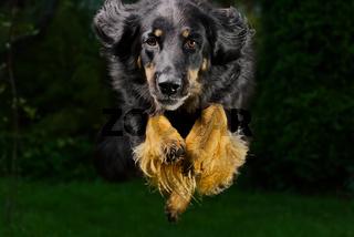 Black hovawart portrait. hovawart femaile dog on black background. black dog close-up portrait for calendar, poster, print cover. selective focus