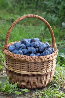 Freshly torn plums in the basket