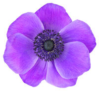 Colorful Daisy (Anemone, Wildröschen) isolated on white background, including clipping path.