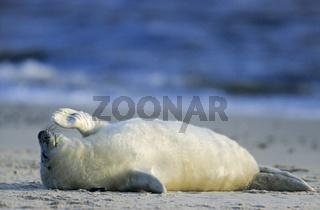 Kegelrobbenbaby ruht entspannt am Strand / Grey Seal pup resting relaxed on the beach - (Gray Seal - Atlantic Grey Seal) / Halichoerus grypus