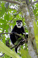 Black & white colobus at Kibale National Park Uganda (Colobus guereza)