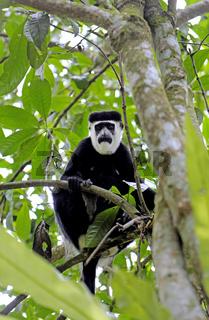 Mantelaffe, Stummelaffe, im Kibale National Park Uganda (Colobus guereza) | Black & white colobus at Kibale National Park Uganda (Colobus guereza)