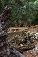 Old olive trees on a plantation with stone fortifications