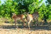 herd of impala antelope in Chobe, Botswana