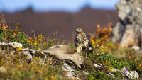 Common buzzard hunting doe in mountains in autumn.