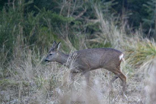 Roe Deer doe on the forest edge
