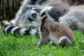 Ring-tailed Lemurs (Lemur catta) at the Bioparc in Fuengirola
