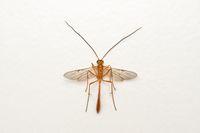 Dorsal of Short tailed Ichneumon wasp, Ophion luteus, Satara, Maharashtra, India