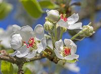 Pear blossom  'Pyrus communis'